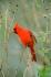 Kırmızı Kuş k0