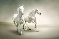 Koşan Beyaz Atlar - HT-C-120