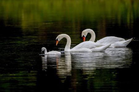 Kuğu Ailesi resim