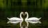 Kuğular k0