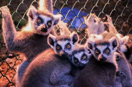 Lemur resim