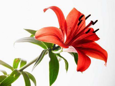 Lilyum Yaprağı resim
