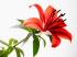 Lilyum Yaprağı k0