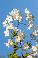 Limon Çiçekleri - CT-C-172