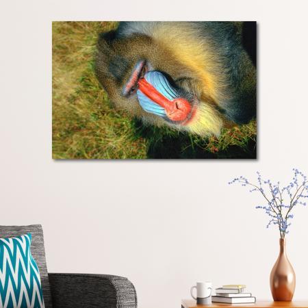 Mandrill Maymunu resim2