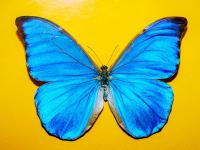 Mavi Kelebek - HT-C-151