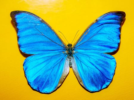 Mavi Kelebek resim