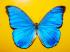 Mavi Kelebek k0