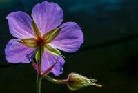 Mor Çiçek - CT-C-185