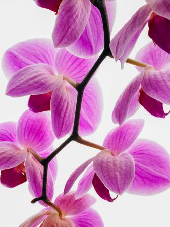 Mor Orkide resim