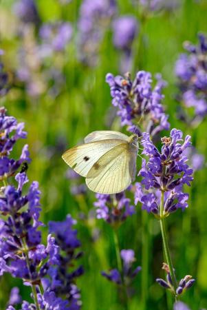 Mor Sümbül ve Kelebek resim