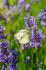 Mor Sümbül ve Kelebek k0