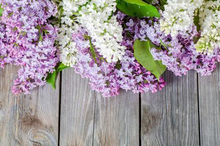 Mor ve Beyaz Sümbüller resim