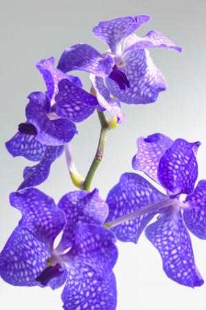 Orkide Yaprakları 0