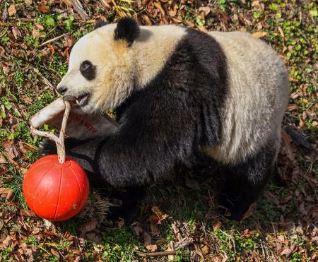 Panda resim