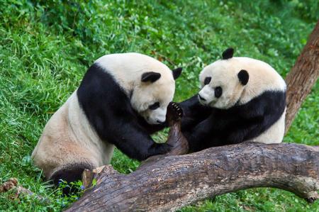 Pandalar resim