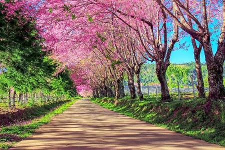 Pembe Ağaçlı Yol resim