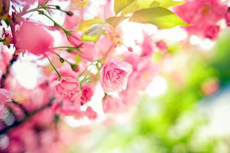 Pembe Bahar Çiçekleri resim