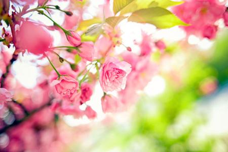 Pembe Bahar Çiçekleri 0