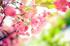 Pembe Bahar Çiçekleri k0