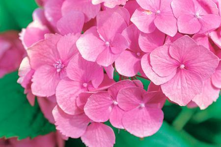 Pembe Çiçekler resim