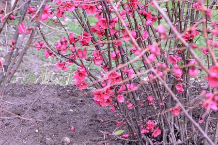 Pembe Çiçekli Dallar resim