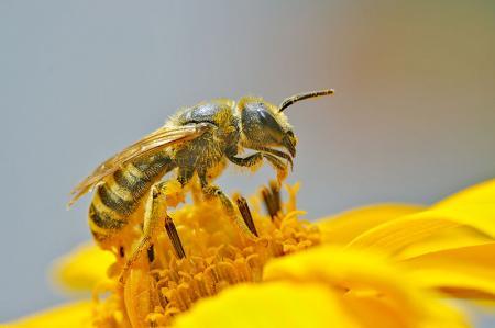 Polen Toplayan Arı resim