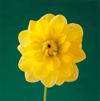 Sarı Çiçek - CT-C-149