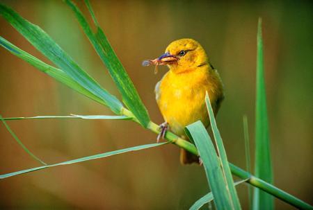 Sarı Kuş resim