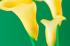 Sarı Zambak k0