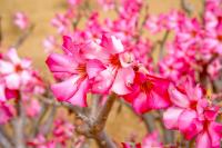 Şeftali Çiçeği - CT-C-146