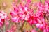 Şeftali Çiçeği k0