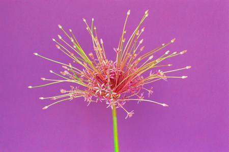 Şeftali Çiçegi resim