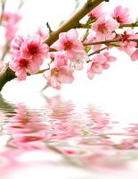 Şeftali Çiçeği - CT-C-177
