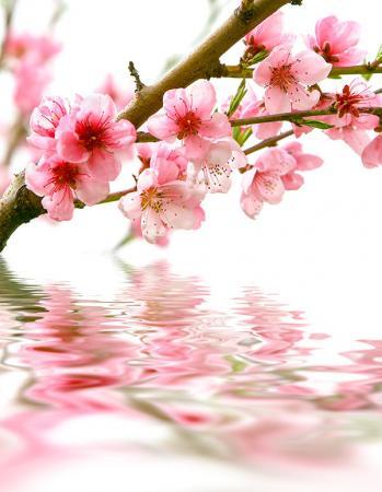 Şeftali Çiçeği resim