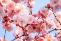 Şeftali Çiçeği - CT-C-187
