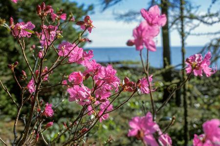 Şeftali Çiçekleri resim