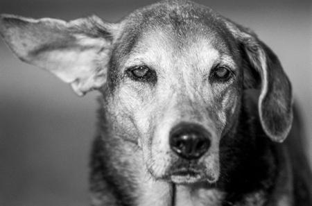 Siyah Beyaz Köpek Portresi resim