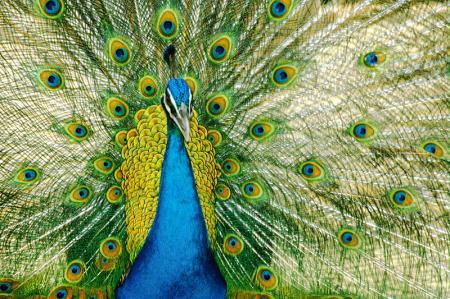 Tavus Kuşu resim