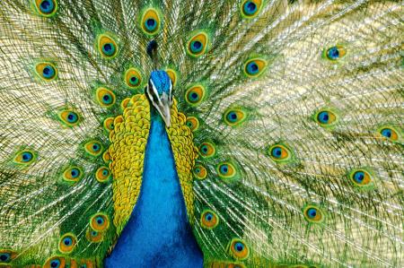 Tavus Kuşu 0
