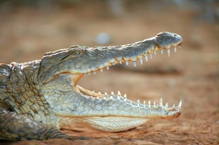 Timsah Dişleri resim