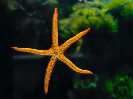 Turuncu Deniz Yıldızı 0