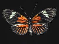 Turuncu Kelebek - HT-C-132
