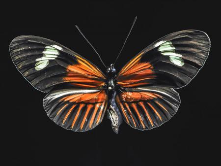 Turuncu Kelebek resim