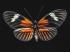 Turuncu Kelebek k0