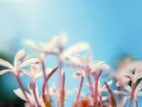 Yasemin Çiçeği - CT-C-259