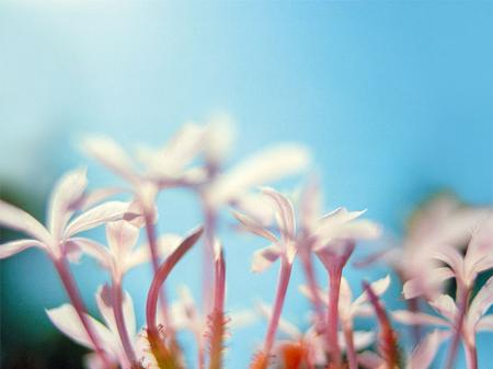 Yasemin Çiçeği resim