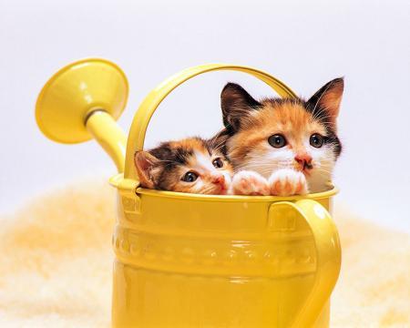 Yavru Kediler resim