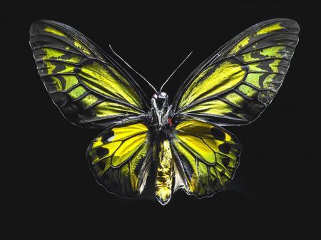 Yeşil Kelebek resim