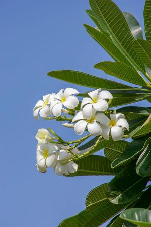 Zakkum Çiçeği resim